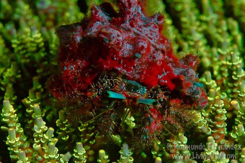 Hermit crab over coral